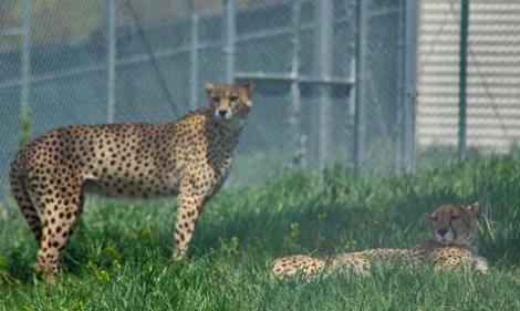 voakoster_cheetahs_frontroy