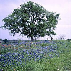 TEXAS+TREE+AND+BLUEBONNETS