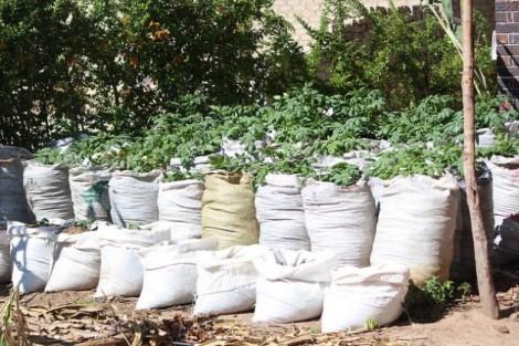 potato-plants-640-629x419