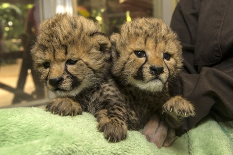 newly-born-cheetah-cubs-hand-reared-at-san-diego-zoo