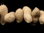 797716-peanuts-could-protect-against-cancer