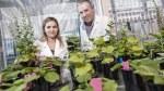 australian-tobacco-plant-1